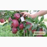 Продам яблоки, Золотое превосходное, айдарет, американка, до 300 тонн