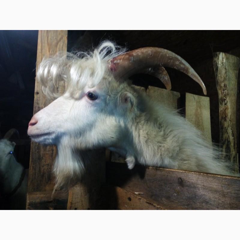 кстати, приведенный коза с челкой фото помощью коротких ультракоротких