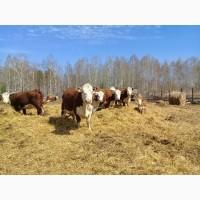 Коровы и телята породы Герефорд