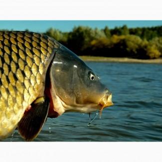 Зао Схп Липецкрыбхоз продает живую рыбу и малёк разных видов рыб. Выполняем доставку