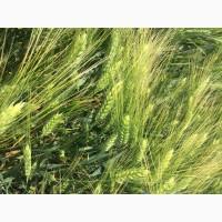 Семена твердой пшеницы Оникс элита