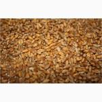 Пшеница фуражная урожай 2017 года