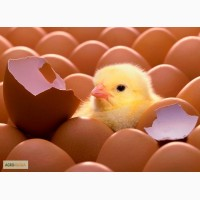 Инкубационное яйцо кур-несушек породы Хайсекс Браун