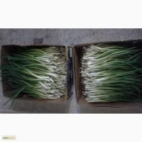 Выращиваем и продаем свежий зеленый лук