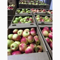 Яблоки оптом от производителя 35 р/кг