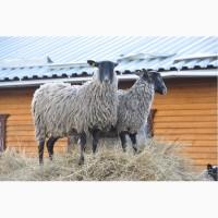 Овцы и бараны романовской породы - племенные