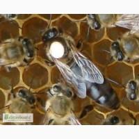 Пчелопакеты Карпатка Карника в Санкт-Петербурге