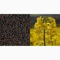 Рапс масличный (урожай 2018)