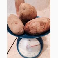 Купим картофель из России, Белоруссии, Молдовы и других стран