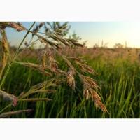 Семена суданки Кинельская 100