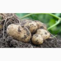 Семенной картофель Ароза, Розара, Ред Леди, Зекура, Родрига, Гранада, Лилли, Пила