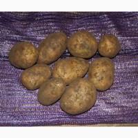 Семенной картофель Эволюшн РС2 оптом от производителя