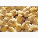 Молодняк птицы от 1 суток (Куры-несушки, индейка, гусята, бройлер)