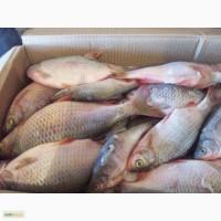 Рыба речная от производителя Астрахани