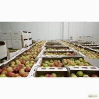 Яблоко сорт Дарья оптом от фермера