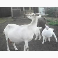 Продам на мясо стадо коз