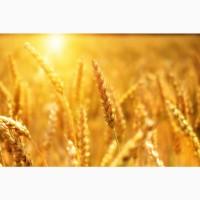 Продаю пшеницу 3 класса от производителя. 16500 руб/тонна