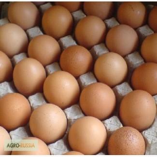 Яйцо С1 оптом
