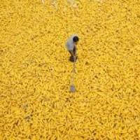 СРОЧНО продам канадский трансгенный гибрид кукурузы HYDRA FF-369 ФАО 250