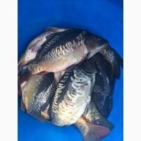 Продам живую рыбу: карп, амур