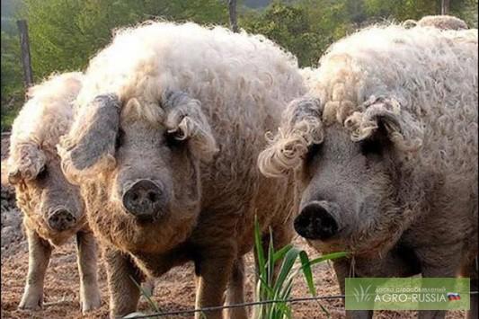 купить поросят мангалицы в алтайском крае
