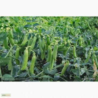 Семена гороха полевого (пелюшка) Николка, Малиновка РСm