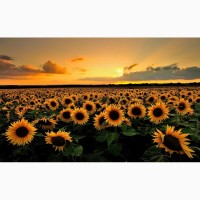 Гибриды семена подсолнечника Мегасан, Голдсан, Тунка, ЛГ5550, ЛГ5580 Лимагрейн, Limagrain