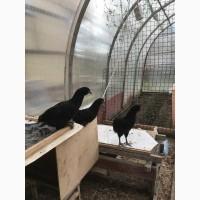 Китайские черные петушки /курочки
