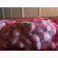 Картофель сорт Брук оптом от 10 тонн