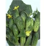 СибНИИРС предлагает семена и посадочный материал 15 видов овощных культур., Новосибирска обл.