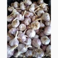 Продается семеной Чеснок сорт Добрыня
