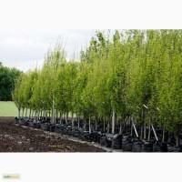 Сеянцы и саженцы деревьев и кустарников оптом из лесхоза