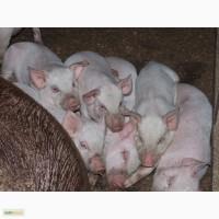 Поросята мясо-сальной породы Крупная Белая домашние
