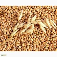 Семена озимой пшеницы(СНИИСК):Княгиня Ольга, Зустрич, Писанка, Украинка Одесская и др