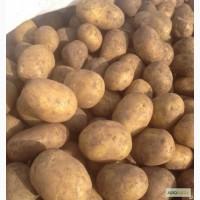 Картофель новый урожай 2017 года