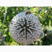 Мордовника семена