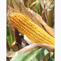 Гибриды семян кукурузы Ладожские. Ладожский 301 МВ