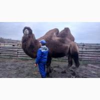 Продаётся двугорбый верблюд