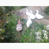 Продажа птицы в с. Константиново