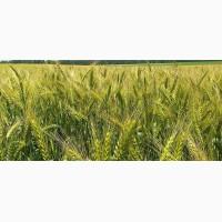 Семена пшеницы твердой Памяти Янченко (элита)