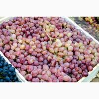 Виноград Тайфи оптом по цене от производителя