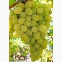 Продам виноград Плевен Августин и прочие