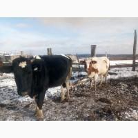 Бычки, телята, нетели, коровы, телки