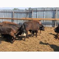 Бычки мясных пород Абердин, Герефорд и кроссы