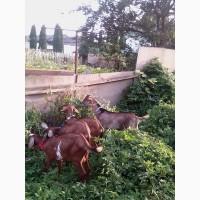 Продаю козликов нубийской и альпо-нубийской породы