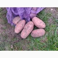 Картофель оптом от 20 тонн. Брянская область