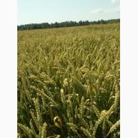 Семена Яровой пшеницы сорт Дарья, супер-элита
