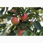 Яблоки из Сербии