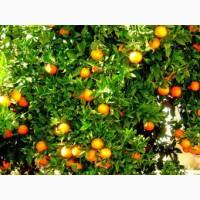 Продажа апельсин высшего сорта