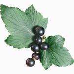 Смородины черной листья